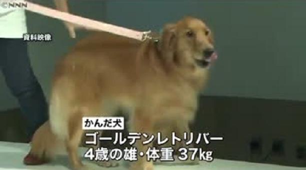 9日、東京・八王子市で生後10か月の女の子が飼い犬に頭をかまれ死亡する痛ましい事故があった。かんだのは温和な性格だとされるゴールデンレトリバーだった。
