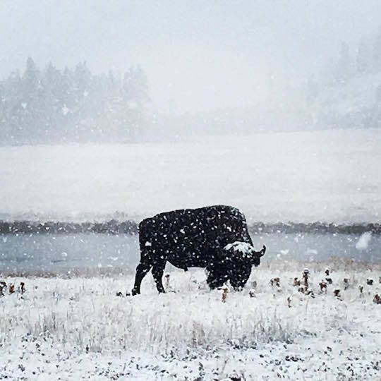 snowstorm-yellowstone-blizzard.jpg